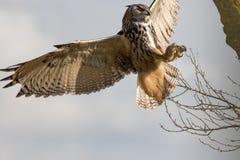 Europees-Aziatische Eagle-Uil Europese hunti van de roofvogel Bubo van de adelaarsuil royalty-vrije stock afbeelding