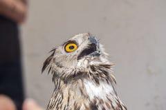 Europees-Aziatische Eagle-Uil met open bek, Bubo-bubo stock foto's
