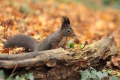 Europees-Aziatische eekhoorn Royalty-vrije Stock Foto's