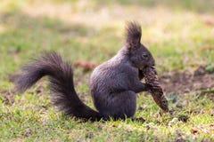 Europees-Aziatische eekhoornzitting op groen gras met sparappel in poten stock fotografie