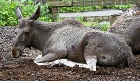 Europees-Aziatische elanden Stock Foto's