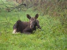 Europees-Aziatische Elanden of Amerikaanse elanden Royalty-vrije Stock Afbeeldingen