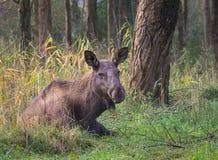 Europees-Aziatische Elanden of Amerikaanse elanden Royalty-vrije Stock Foto's