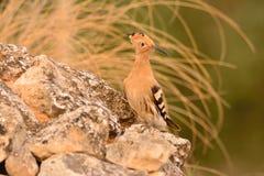 Europees-Aziatische Hoopoe of Upupa epops, mooie bruine vogel Stock Foto's