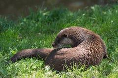 Europees-Aziatische lutra van otterlutra royalty-vrije stock fotografie