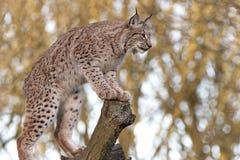 Europees-Aziatische Lynx Stock Afbeelding