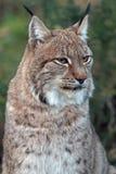 Europees-Aziatische Lynx Royalty-vrije Stock Foto's