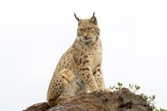 Europees-Aziatische lynx bovenop een rots Stock Foto