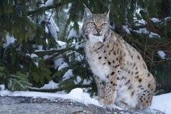 Europees-Aziatische lynx (de lynx van de Lynx). Royalty-vrije Stock Foto's