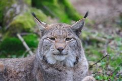 Europees-Aziatische lynx (de lynx van de Lynx) Stock Afbeelding