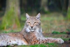 Europees-Aziatische lynx (de lynx van de Lynx) Stock Foto