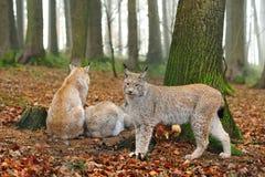 Europees-Aziatische lynx (de lynx van de Lynx) Royalty-vrije Stock Foto