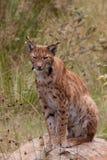 Europees-Aziatische lynx (de lynx van de Lynx) Stock Afbeeldingen
