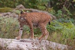 Europees-Aziatische lynx (de lynx van de Lynx) Stock Foto's