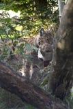 Europees-Aziatische lynx (de lynx van de Lynx) met een prooi. Royalty-vrije Stock Foto's