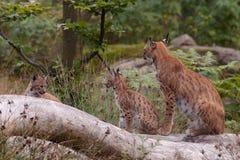 Europees-Aziatische lynx (de lynx van de Lynx) met welpen Stock Afbeeldingen