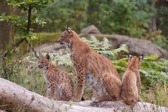Europees-Aziatische lynx (de lynx van de Lynx) met welpen Royalty-vrije Stock Afbeelding