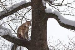 Europees-Aziatische lynx die (lynxs van de Lynx) zijn karbonades likt Royalty-vrije Stock Fotografie