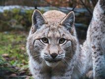 Europees-Aziatische Lynx in Duitsland Stock Afbeeldingen
