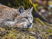 Europees-Aziatische Lynx in Duitsland Royalty-vrije Stock Afbeeldingen