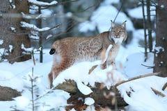 Europees-Aziatische lynx in het Beierse nationale park in oostelijk Duitsland stock fotografie