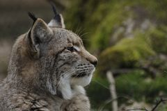 Europees-Aziatische lynx (lynxlynx) Royalty-vrije Stock Foto's