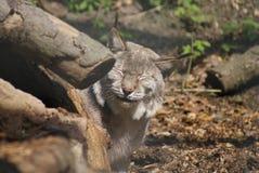 Europees-Aziatische Lynx - Lynxlynx Royalty-vrije Stock Afbeelding