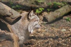 Europees-Aziatische Lynx - Lynxlynx Royalty-vrije Stock Afbeeldingen