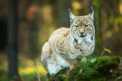 Europees-Aziatische lynx (Lynxlynx) Stock Afbeeldingen