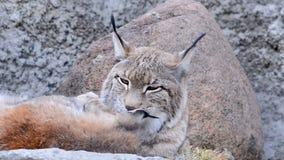 Europees-Aziatische Lynx met baby stock footage
