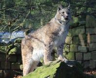 Europees-Aziatische lynx op rots Royalty-vrije Stock Fotografie