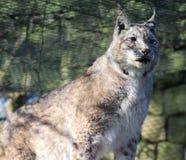 Europees-Aziatische lynx op rots Royalty-vrije Stock Foto's