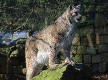 Europees-Aziatische lynx op rots Royalty-vrije Stock Afbeelding
