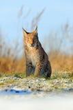 Europees-Aziatische Lynx op sneeuwweide in de winter Royalty-vrije Stock Fotografie