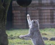 Europees-Aziatische lynx playig Stock Fotografie