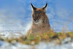 Europees-Aziatische Lynx, portret van op sneeuw in de winter stock foto