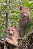 Europees-Aziatische lynxwelpen Royalty-vrije Stock Afbeeldingen