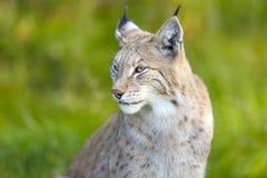 Europees-Aziatische lynxzitting in het groene gras Royalty-vrije Stock Afbeelding