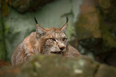 Europees-Aziatische Lynxzitting onder rots Stock Foto's