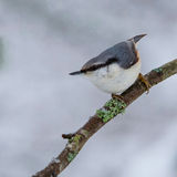 Europees-Aziatische nuthatch-1 Stock Foto's
