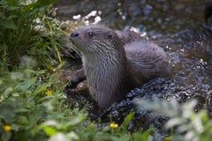 Europees-Aziatische Otter royalty-vrije stock afbeelding