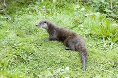 Europees-Aziatische Otter - lutra Lutra Stock Afbeeldingen