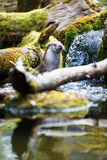 Europees-Aziatische otter (Lutra-lutra) Stock Foto's