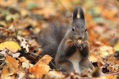 Europees-Aziatische rode eekhoorn Stock Fotografie
