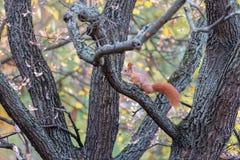 Europees-Aziatische rode eekhoorn in de herfstbos stock foto