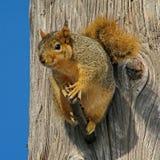 Europees-Aziatische rode eekhoorn Gewone Eekhoorn lat Vulgaris Sciurus is de soort knaagdieren van de eekhoornfamilie Equilibrist stock foto's