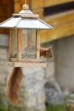 Europees-Aziatische rode eekhoorn/het plunderen van Sciurus vulgaris vogelvoeder royalty-vrije stock foto's