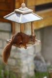 Europees-Aziatische rode eekhoorn/het plunderen van Sciurus vulgaris vogelvoeder stock fotografie