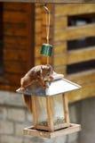 Europees-Aziatische rode eekhoorn/het plunderen van Sciurus vulgaris vogelvoeder stock afbeelding