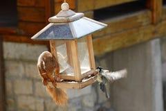 Europees-Aziatische rode eekhoorn/Sciurus vulgaris en mees/Parus-majoor bij vogelvoeder royalty-vrije stock afbeelding